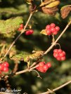 Highbush cranberries.